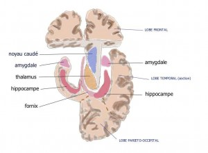 Amygdala_hippocampus